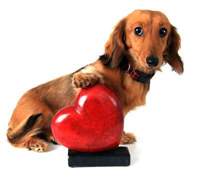 el coraz�n de san valent�n: Perrito del Dachshund con su pata en un coraz�n rojo de San Valent�n.