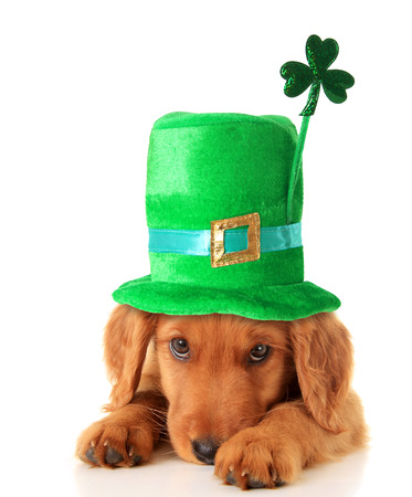 golden retriever puppy: An Irish setter puppy wearing a St Patricks day hat.
