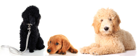 Black poodle puppy, Irish Setter puppy and a golden doodle dog, studio isolated on white.