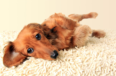 submissive: Longhair dachshund puppy lying down on the carpet.