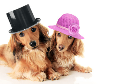 Two dachshunds, a male and female wearing a top hat and straw hat. Love and marriage concept. Archivio Fotografico