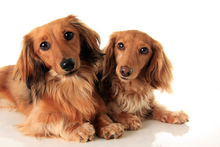 doxie: Two longhair dachshund, studio isolated on white. Stock Photo