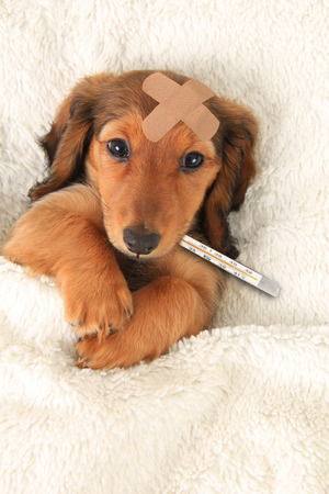 celcius: Sick dachshund puppy with a bandaid and thermometer.