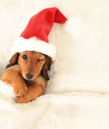 one eye closed: Longhair dachshund puppy, wearing a Christmas Santa hat,  in bed, winking.