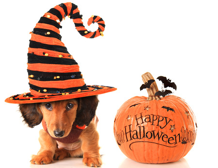 Longhair dachshund puppy, wearing a Halloween witch hat, next to a pumpkin. Stock Photo