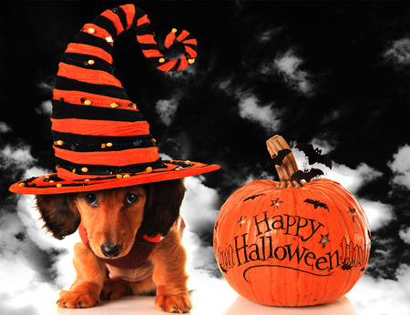 Dachshund puppy wearing a witch hat, next to a pumpkin. Stock Photo