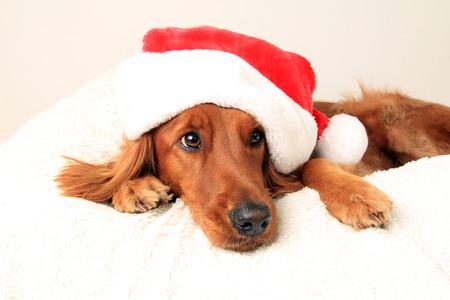 Irish setter dog wearing a Santa hat for Christmas
