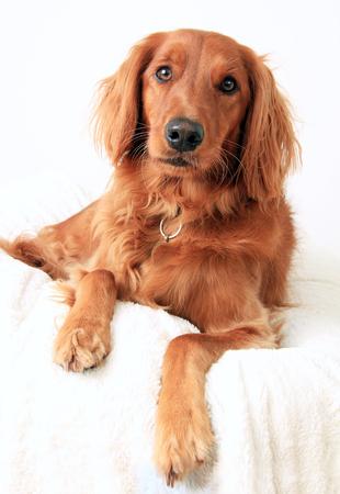 setter: Irish Setter dog studio portrait Stock Photo
