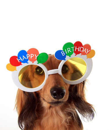 Dachshund puppy wearing Happy Birthday glasses. Stock Photo