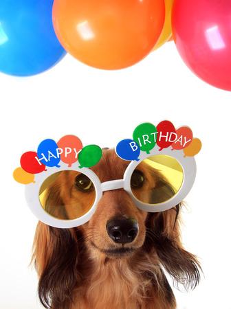 Teckel puppy dragen Gelukkige Verjaardag bril. Stockfoto