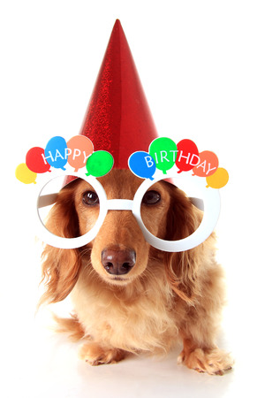 wiener dog: Dachshund puppy wearing Happy Birthday eye glasses and a party hat.