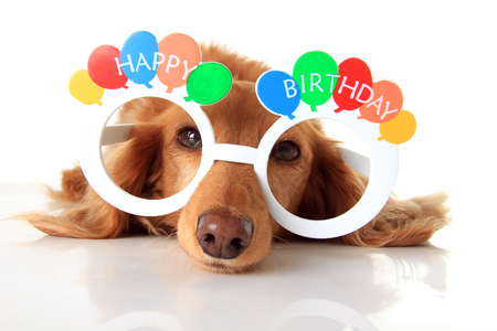 Dachshund puppy wearing Happy Birthday glasses. Also available in vertical.