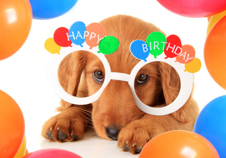 A Irish setter puppy wearing Happy Birthday eye glasses. Banque d'images