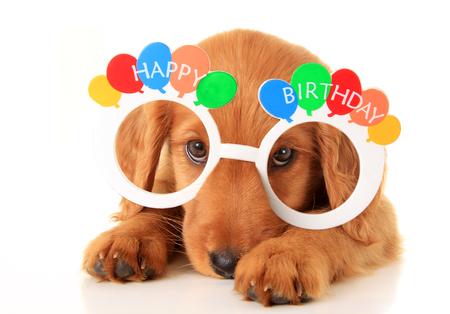 A Irish setter puppy wearing Happy Birthday eye glasses. Standard-Bild
