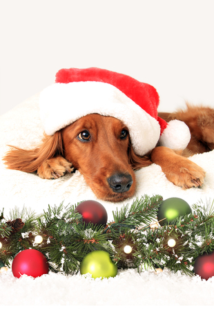 laying down: Irish setter dog wearing a Santa hat laying down in front of Christmas decorations.