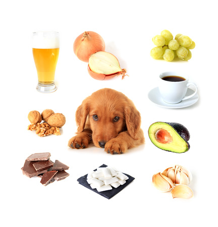 dangerous: Chart of toxic foods for dogs. Also available with English text. Stock Photo