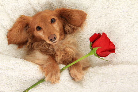 Longhair dachshund in bed with a Valentine rose. Stock Photo - 51331630