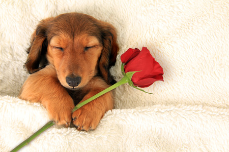 doxie: Longhair dachshund puppy holding a Valentine rose asleep on a bed.