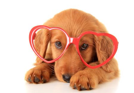 Irský setr štěně nosí brýle Valentine.