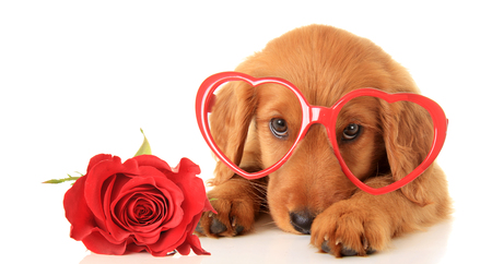 Irish Setter puppy wearing Valentine glasses next to a red rose. Stock Photo