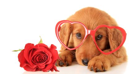 Irish Setter puppy wearing Valentine glasses next to a red rose. Standard-Bild