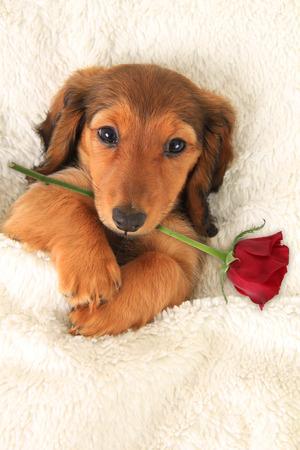 Longhair dachshund puppy holding a Valentine Rose. Stock Photo