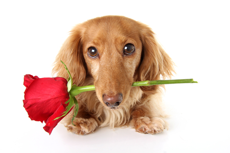 Valentines day dachshund puppy holding a red rose.