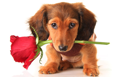 Longhair dachshund puppy, isolated on white holding a Valentine rose.