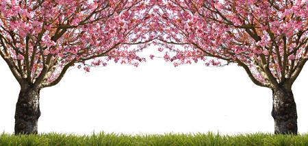 au début du printemps magnifique floraison des cerisiers en rose. Banque d'images