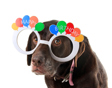 canine: Sad and old labrador retriever dog wearing happy birthday glasses.