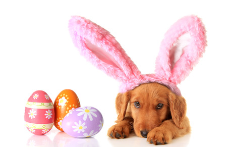 egg laying: An Irish Setter puppy wearing Easter bunny ears, surrounded by Easter eggs.