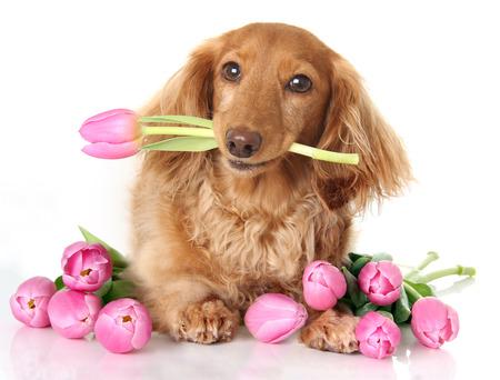 tulip: Jamnik szczeniak z tulipanów wiosną różowe kwiaty. Zdjęcie Seryjne