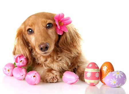 doxie: Dachshund puppy dog with spring pink tulip flowers and Easter eggs. Stock Photo
