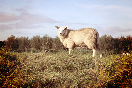 A single sheep standing on a grassy hill in vintage tones. Stock Photo