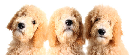 poodle mix: Three goldendoodle puppies, studio isolated on white.