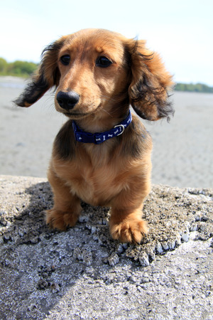 doxie: Longhair dachshund puppy outside.