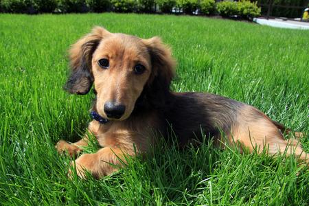 Longhair dachshund puppy outside.