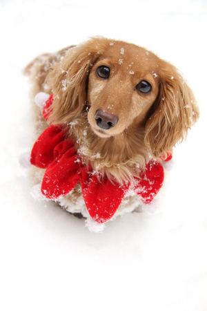 Dachshund puppy dog wearing Christmas collar in the snow. Funny expression.