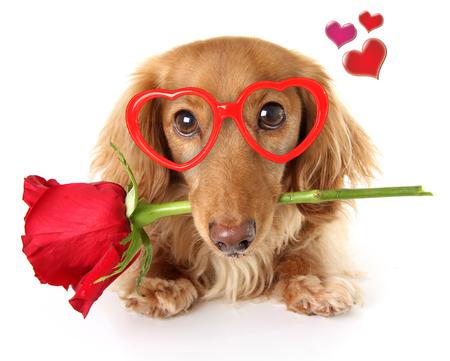 발렌타인 데이 닥스 훈트 강아지 빨간 장미를 들고 심장 모양의 안경을 쓰고.
