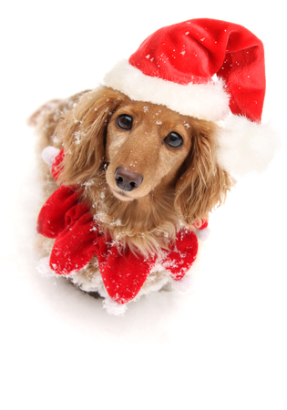 Dachshund puppy dog wearing Christmas Santa hat in the snow. Funny expression.