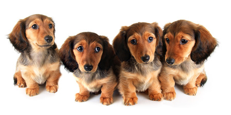 Litter of longhair dachshund puppies, studio isolated on white.