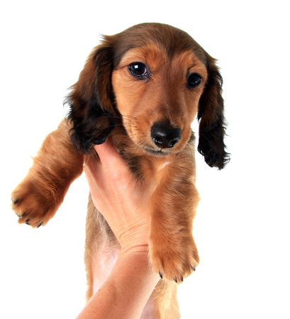Long haired dachshund puppy held up by one hand.