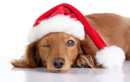 Long haired dachshund puppy wearing a Christmas Santa hat. Studio isolated on white. Stock Photo - 91010372