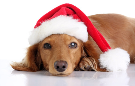 Long haired dachshund puppy wearing a Christmas Santa hat. Studio isolated on white.  Stock Photo