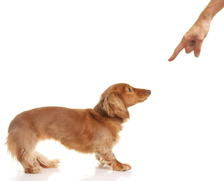 Long haired Dachshund puppy being disciplined. The owner is pointing a finger.  Stock Photo