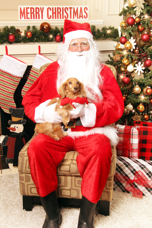 Litte Dachshund sitting on Santas lap. Santa photos with your pet for Christmas concept.