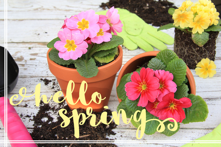 Hello Spring message on a background of Primula flowers and gardening tools.
