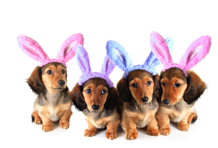 Litter of longhair dachshund puppies wearing Easter bunny ears. Studio isolated on white.  Stock Photo