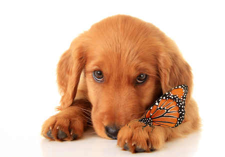 A golden Irish/ red Retriever puppy with a butterfly on her paw.  A hybrid between a golden retriever and an Irish setter.  Stock Photo