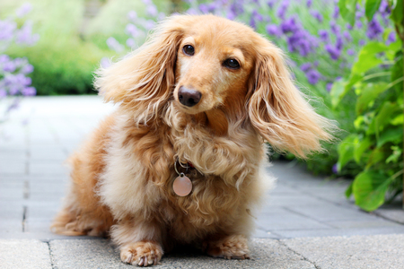 A senior purebred longhair English cream colored dachshund dog, outside in the garden. Stock Photo - 105124951